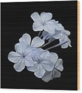 Pale Blue Plumbago Isolated On Black Background  Wood Print