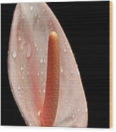 Pale Pink Anthurium Wood Print