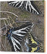 Pale Swallowtails And Western Tiger Swallowtail Butterflies Wood Print