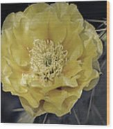 Pale Yellow Prickly Pear Bloom  Wood Print