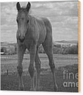 Palomino In Black And White Wood Print