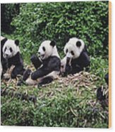 Pandas In China Wood Print