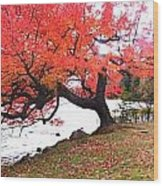 Panorama Of Red Maple Tree, Muskoka Wood Print by Henry Lin