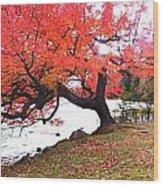 Panorama Of Red Maple Tree, Muskoka Wood Print