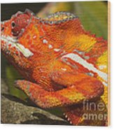 panther chameleon from Madagascar 3 Wood Print
