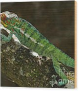 panther chameleon from Madagascar 5 Wood Print