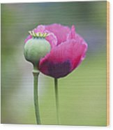 Papaver Somniferum Poppy And Seed Pod Wood Print