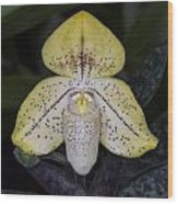 Paphiopedilum Concolor Orchid Wood Print