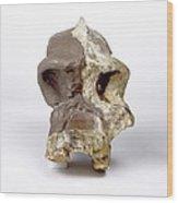 Paranthropus Robustus Cranium (sk46) Wood Print