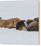 Pariah Dogs On The Snow - Featured 2 Wood Print