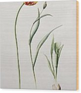 Parrot Tulip Wood Print by Iona Hordern