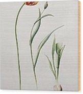 Parrot Tulip Wood Print by Iona Hordern