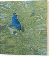 Parrotfish On A Swim Wood Print by John M Bailey