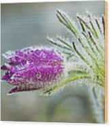 Pasque Flower Wood Print