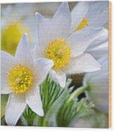 Pasque Flower Wood Print