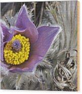 Pasque Flower Pulsatilla Halleri Wood Print