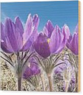 Pasque Flowers Close-up In Natural Environment Wood Print