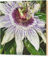 Passiflora Close Up With Garden Background  Wood Print