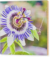 Passiflora Or Passion Flower Wood Print