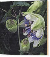 Passiflora Wood Print by Richard Cummings