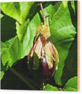 Passion Fruit 10-18-13 By Julianne Felton Wood Print