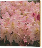 Pastel Coral Azaleas Refreshed By The Rains Wood Print