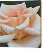 Pastel Peach Rose Wood Print
