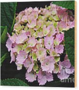 Pastel Pink Hydrangea Wood Print