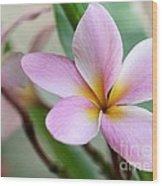 Pastel Pink Plumeria Wood Print