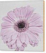 Pastel Purple Gerbera Wood Print
