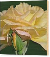 Pastel Rose Ruffles Wood Print