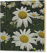 Patch Of Daisies Wood Print