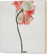 Field Poppy Wood Print