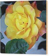 Peace Rose Palm Springs Wood Print