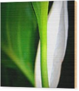 Peaceful Lily Wood Print