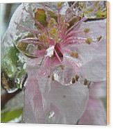 Peach Blossom In Ice Two Wood Print