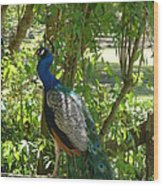 Peacock Beauty Wood Print by Ella Char