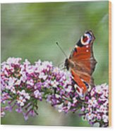 Peacock Butterfly  Inachis Io  On Buddleia Wood Print