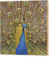 Peacock Courting Wood Print