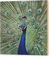 Peacock Display Wood Print