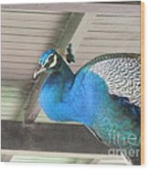 Peacock In The Rafters Wood Print