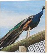 Peacock On Fence 1 Wood Print