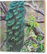 Peacock Perching On A Branch, Kanha Wood Print