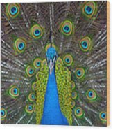 Peacock Portrait Wood Print