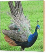 Peacock Ritual Wood Print