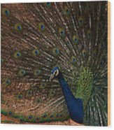 Peacock Show Off Wood Print