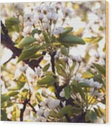 Pear Blossoms Wood Print