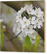 Pear Blossoms Wood Print