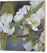 Pear Tree Blooms Wood Print