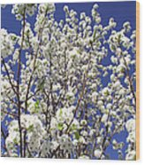 Pear Tree Blossoms In Spring Wood Print